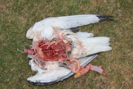 5-26-16 Arnarstapi kittywake murder