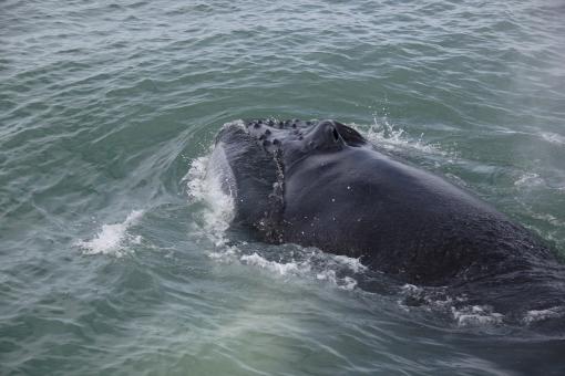 5-31-16 Husavik whale watching humpback (14)