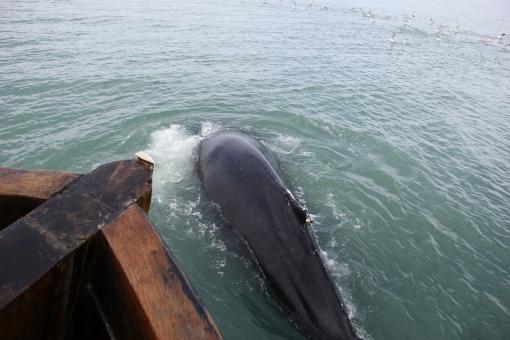 5-31-16 Husavik whale watching humpback (18)