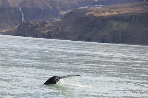 5-31-16 Husavik whale watching humpback (37)