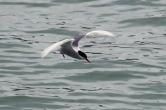 5-31-16 Husavik whale watching tern (4)