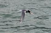 5-31-16 Husavik whale watching tern (6)