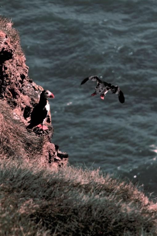 6-4-16 Cape Ingólfshöfði (9)