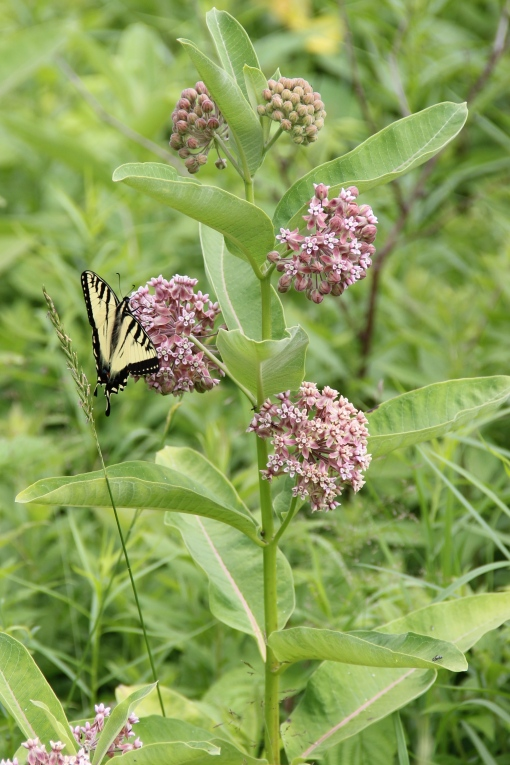 eastern tiger swallowtail on common milkweed2