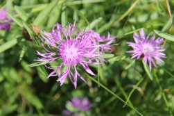 Spotted Knapweed: invasive but pretty